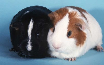 How to house a happy guinea-pig