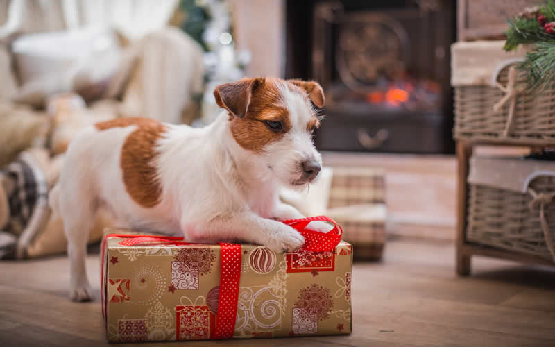 jack russell at christmas