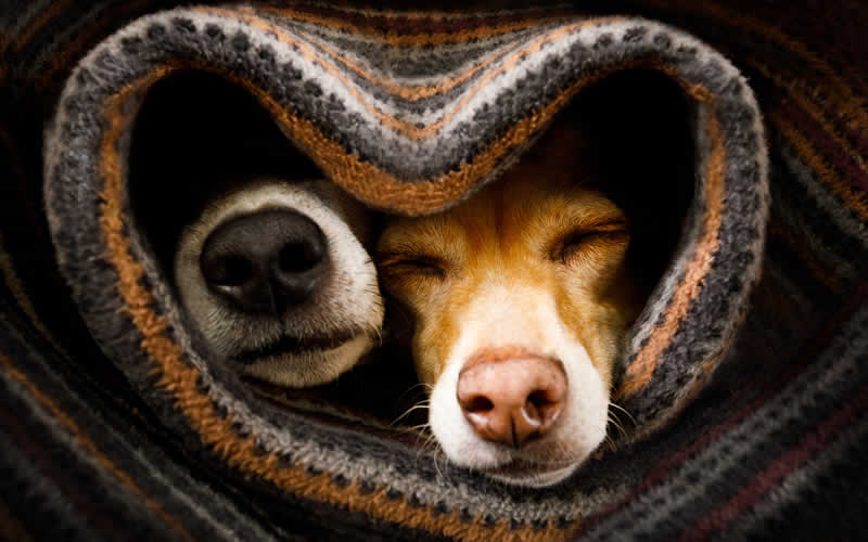 Dogs wrapped in blanket